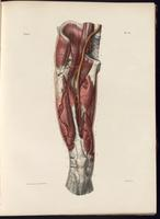 Dissection of the pelvis and thigh, femoral artery