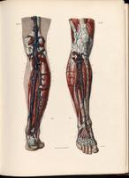 Deep veins and arteries of the lower leg