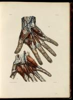 Veins and arteries of the hand