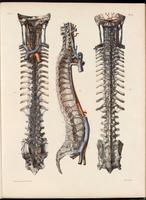 Spine, vertebral venous plexus, cranial sinuses