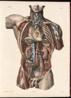 Blood vessels of the thorax and abdomen