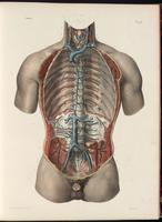 Veins of the thorax and abdomen