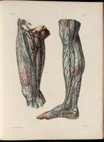 Superficial lymphatic vessels of the leg