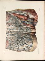 Lymphatic vessels and lymph nodes of the groin