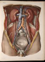 Dissection of the abdomen, male urogenital system