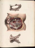 Dissection of female genitalia and perineum