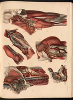 Dissection of the thigh and arm, ligatures to the external iliac artery