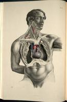 Dissection of the neck and thorax, heart