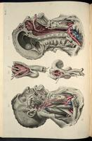 Dissection of the head, neck and pharynx