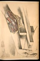Dissection of the arm and elbow