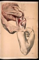 Dissection of the shoulder