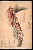 Dissection of the upper arm