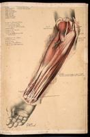 Dissection of the forearm