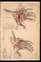 Dissection of the hand