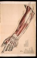 Dissection of the forearm and hand