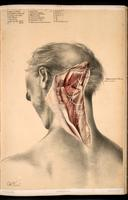 Dissection of the posterior neck