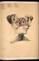 Dissection of the face, and skull