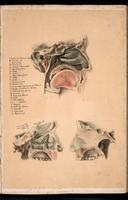 Nasopharynx and oropharynx