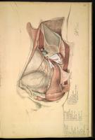 Dissection of the pelvis, male urogenital system