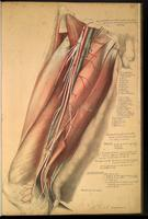 Dissection of the groin and thigh