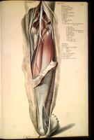 Dissection of posterior lower leg