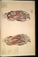 Dissection of the foot