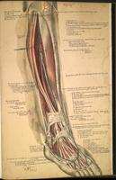 Dissection of the lower leg and foot