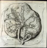 Placenta, umbilical cord, umbilical arteries and veins