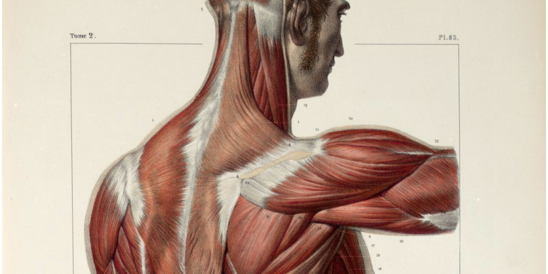 Muscles of the back, shoulder and buttocks.