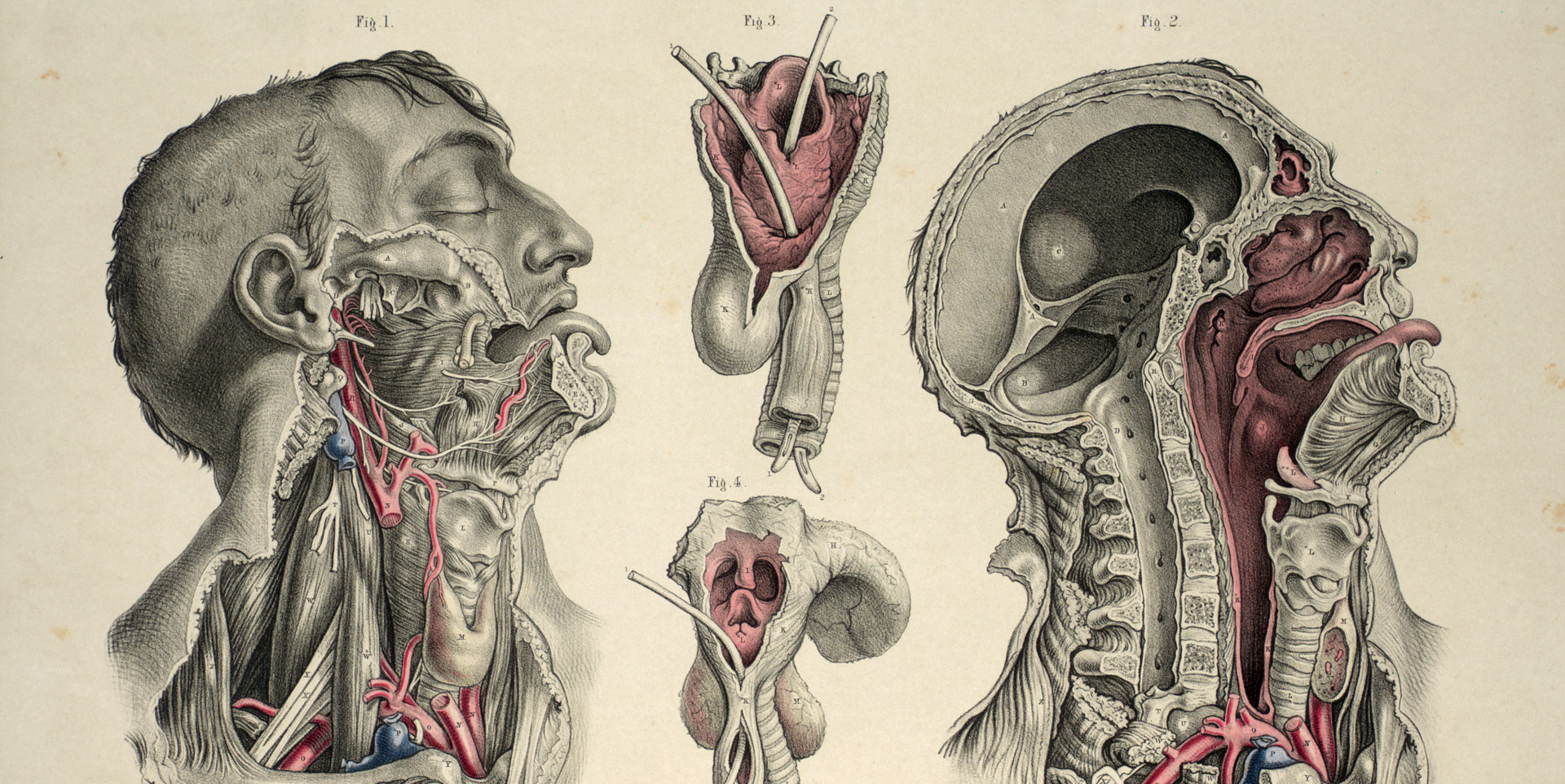 Dissection of the head, neck and pharynx.