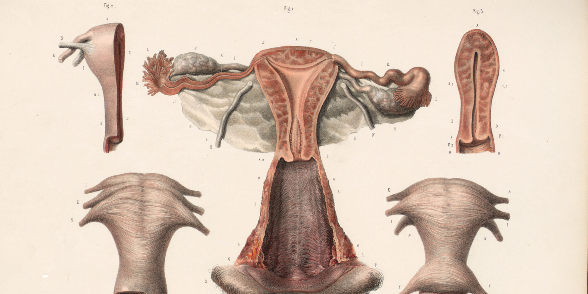 Dissection of female genitalia.